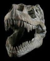 Tyrannosaurus Rex Skull - medium