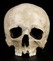 Human Male Skull Replica - Ragna