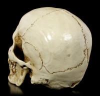 Totenkopf mit Unterkiefer - Skull Head