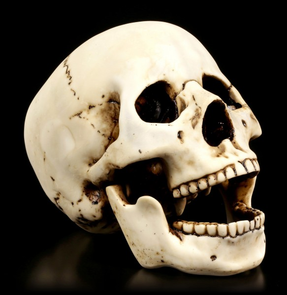 Skull with movable Jaw - Homo Sapiens