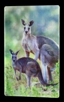 3D Postkarte - Kängurus