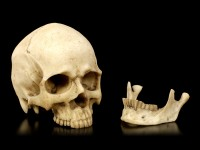 Small Skull Head with Jaw