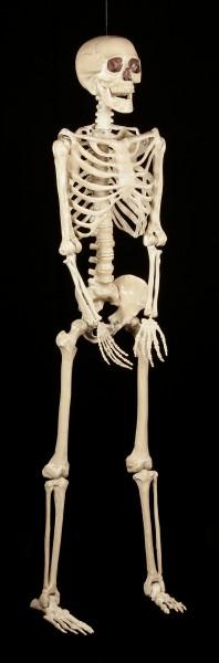 Kunststoff Skelett 152 cm - lebensgroß