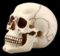 Human Skull with Lower Jaw - large