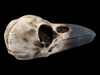 Raven Skull Box