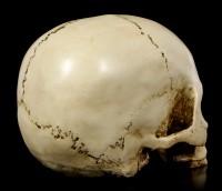 Menschlicher Totenkopf ohne Unterkiefer