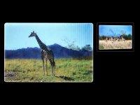 3D Postcard - Giraffes