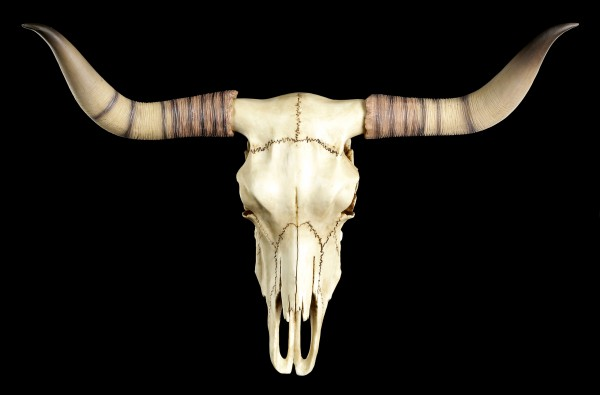 Longhorn Cattle Skull