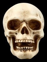 Human Skull with Lower Jaw - medium