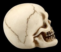 Human Skull with Lower Jaw - small